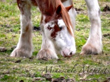 clydesdale (copy)
