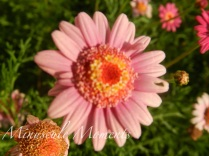 pinkdaisy (copy)